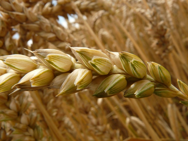 spike-wheat-cereals-grain-40020